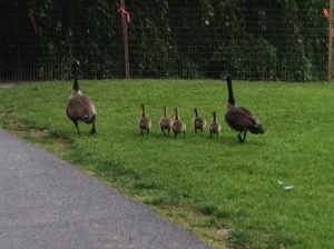 geese chicks